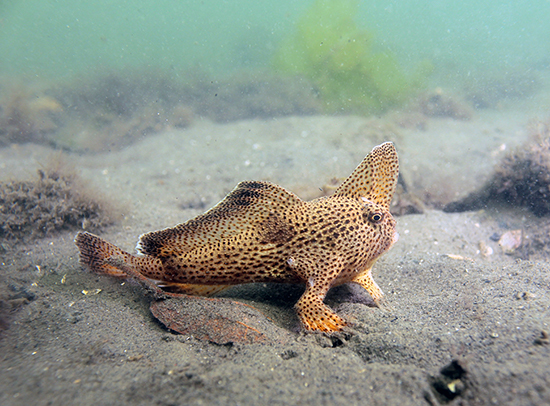 A spotted handfish walking on the sea floor