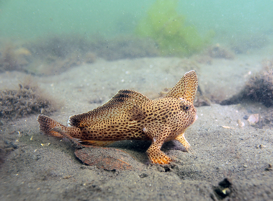 Spotted handfish walking on the ocean floor